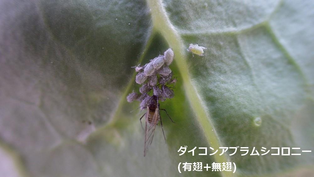 ダイコンアブラムシコロニー(有翅+無翅)