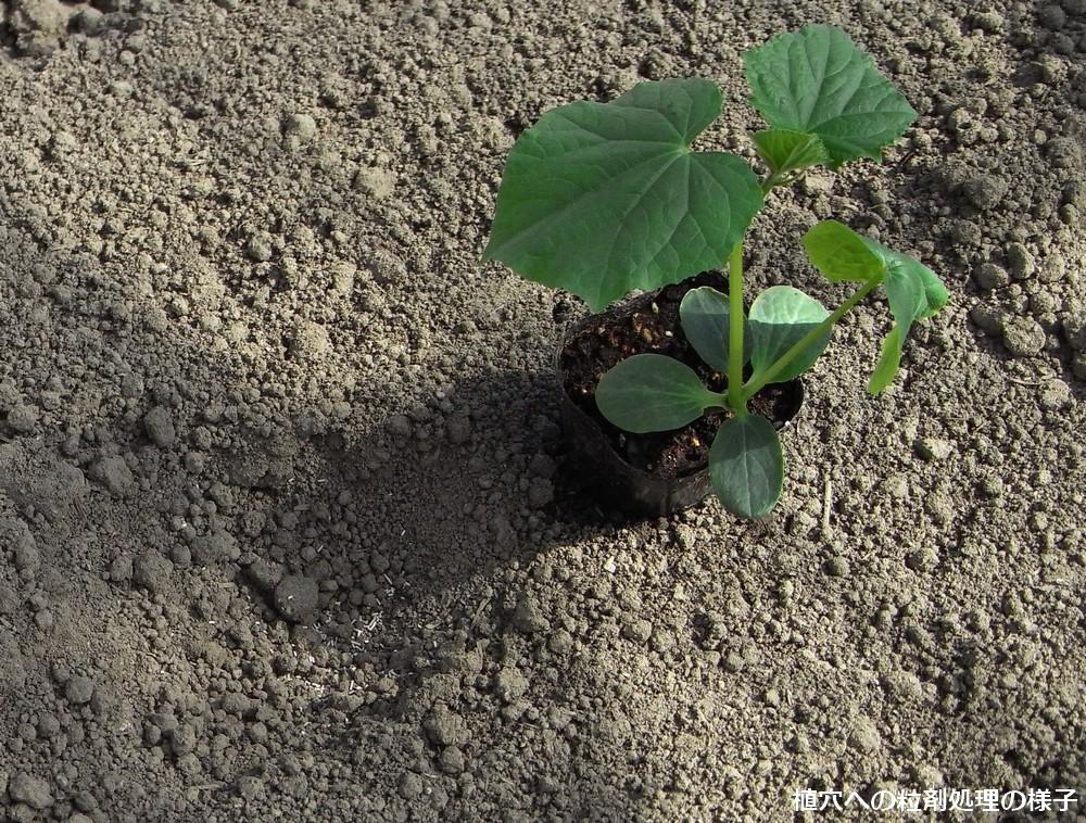 植穴への粒剤処理の様子