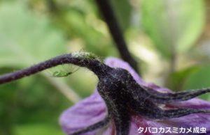 05_タバコカスミカメ成虫