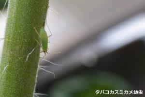 05_タバコカスミカメ幼虫