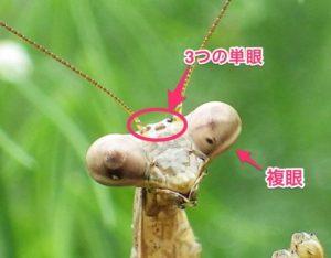 08_昆虫の単眼と複眼