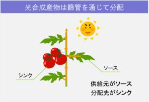 5-1植物体内の「流れ」_光合成産物の分配