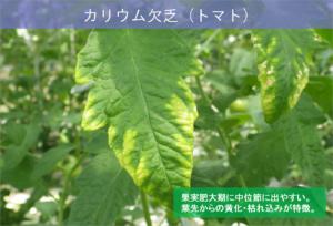 5-4再転流_カリウム欠乏トマトの例