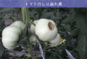 5-5トマトの尻腐れ果