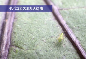 #37タバコカスミカメ幼虫