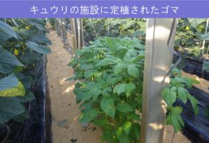 #39-3キュウリの施設に定植されたゴマ
